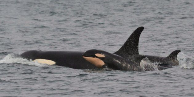 Baby Boom Continues For Endangered Orcas Living Off B.C.