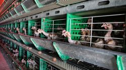 A&W Must Go Cage-Free Or Find Itself On The Wrong Side Of