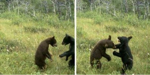 Bear Cubs Caught Wrestling By Waterton Wildlife Camera