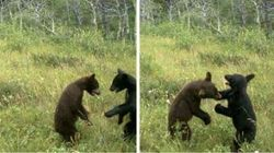 LOOK: Bear Cubs Wrestle For The