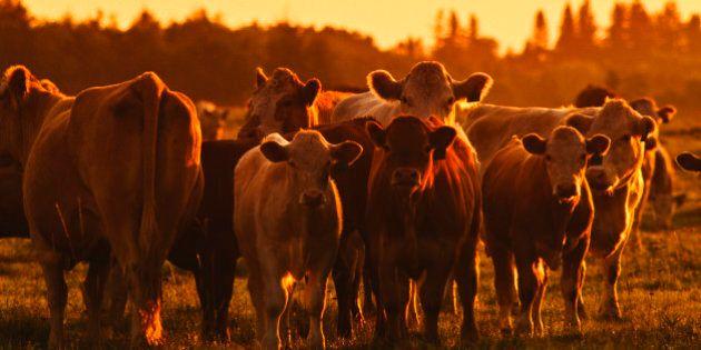 Beef Cattle, Alberta,