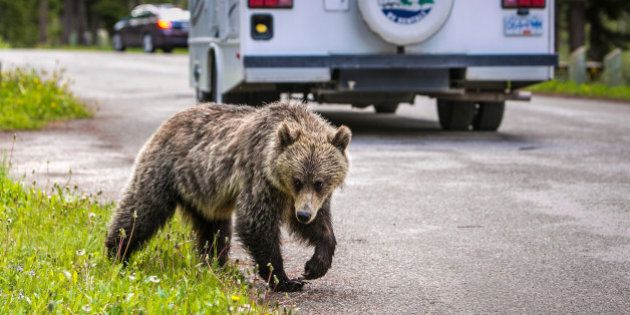 LAKE LOUISE, CANADA - JUNE 27: An adult grizzly bear walks through a nearby campground and picnic area on June 27, 2013 in Lake Louise, Alberta, Canada. Major flooding along the Bow River in June washed out the Trans-Canada Highway 1 for nearly a week, forcing park visitors to cancel their vacation plans. (Photo by George Rose/Getty Images)