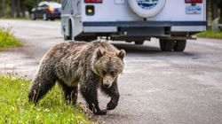 Grizzly Bears Breaking Into Cabins Prompt Alberta