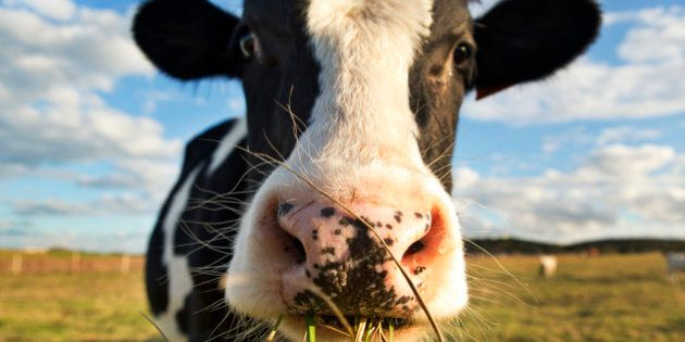 A dairy cow chewing grass in a
