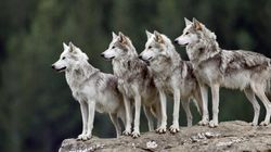 84 Wolves Shot In 1st Year Of Controversial B.C.
