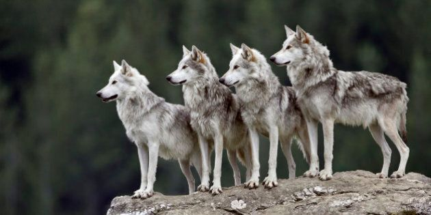 84 Wolves Shot In 1st Year Of Controversial B.C. Cull