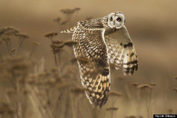 Henrik Nilsson's Owl Photo Recognized By National Geographic Photo