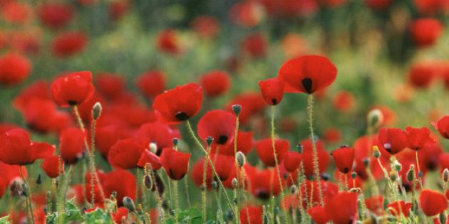 Wearing a Poppy Isn't About Supporting War - It's About Giving