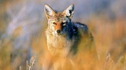 Coyote Killing Cash Prize Contest Draws Environmentalists'