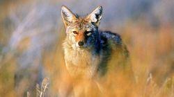 Coyote Killing Cash Prize Contest Draws Environmentalists'