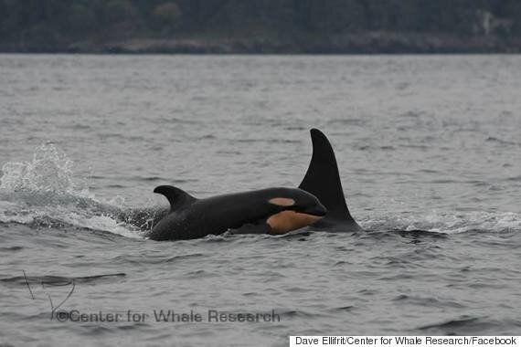 B.C. Killer Whales Welcome 6th Calf This