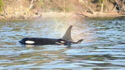 Grandmother Acted As Midwife During Orca's Delivery: