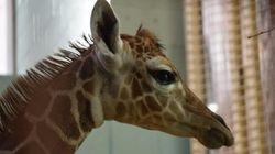 Wobbly (And Adorable) Baby Giraffe Born At Calgary