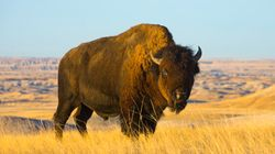 Historic Intertribal Treaty Works To Restore Bison In Western Canada,
