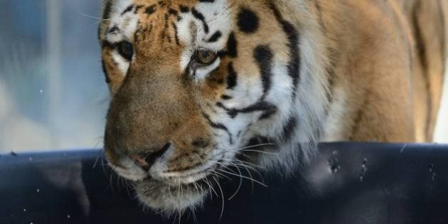 Tiger Killed In Fight At Assiniboine Park Zoo In