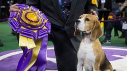 B.C. Beagle Wins Top Honour In Dog World