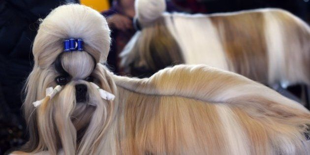 A Shih Tzu in the benching area at Pier 92 and 94 in New York City on the first day of competition at the 139th Annual Westminster Kennel Club Dog Show February 16, 2015. The Westminster Kennel Club Dog Show is a two-day, all-breed benched show that takes place at both Pier 92 & 94 and at Madison Square Garden in New York City.    AFP PHOTO /  TIMOTHY  A. CLARY        (Photo credit should read TIMOTHY A. CLARY/AFP/Getty Images)