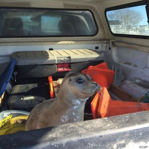 Baby Seal Rescued By RCMP After Found 'Waddling' Near N.S.
