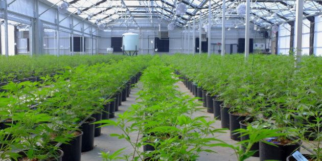 Marijuana plants grow in a greenhouse at the Los Suenos Farms facility in Avondale, Colorado, U.S., on...