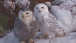 Snowy Owl 'Epidemic' Hits