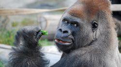 Calgary Zoo Gorilla Dies From A Literal Broken