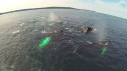 Drone Video Shows The Majesty Of Humpbacks Off Newfoundland's