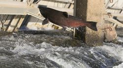 Chinook Salmon Could Be Wiped Out By 2100: