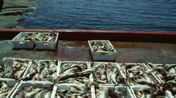 Report Paints Unsettling Picture Of Fish Industry's