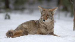 Alberta Coyote Hunting Contest To Go Ahead Despite