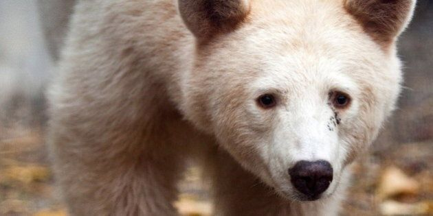 Rare Spirit Bear To Get New Home In