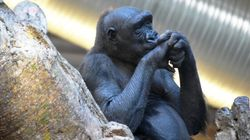 Calgary Zoo Gorilla Is