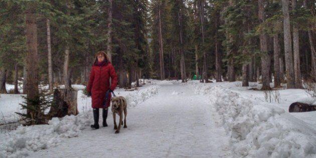 A woman and her Weimaraner walk through the snow laden forest in Banff,