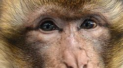 Monkey Tasered By Cops After Kinder Chocolate