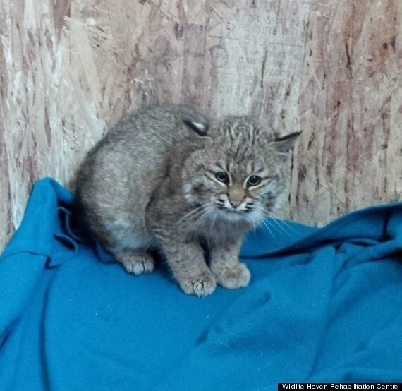 Rescued Baby Bobcat At Wildlife Haven Rehabilitation Centre Is Stealing Our