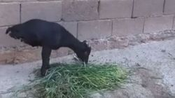 This Goat Has Two Legs And An Incredible Amount Of