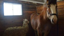 This Horse And Alpaca Are BFFs, And In Need Of