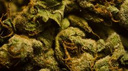 Contaminated Medical Pot From B.C. Firm