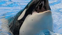 This May Be The End Of Killer Whales In Captivity In