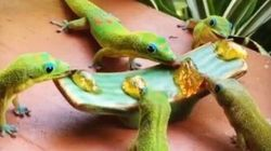 WATCH: These Geckos Know That Sharing Is