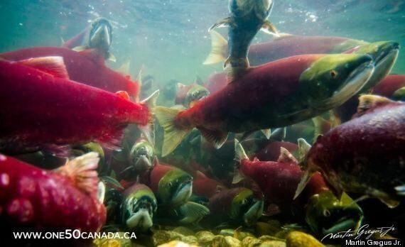 To Photograph The Sockeye, You Must Swim With The Sockeye