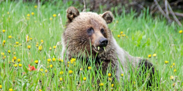 A young grizzly bear feeding on dandelions and other flowers.