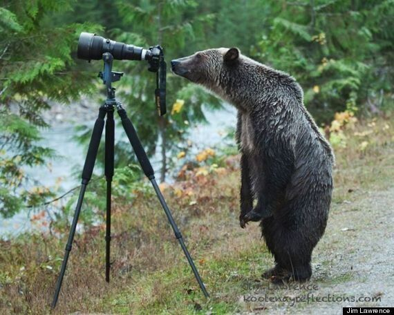 Grizzly Bear Turns Into Wannabe Photographer In