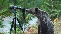 B.C. Grizzly Bear Turns Into Wannabe