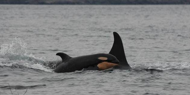 Killer Whale Calf Found Dead Near Tofino,