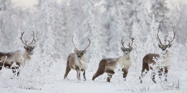 Caribou Continue To Be At Risk In Canada, Report