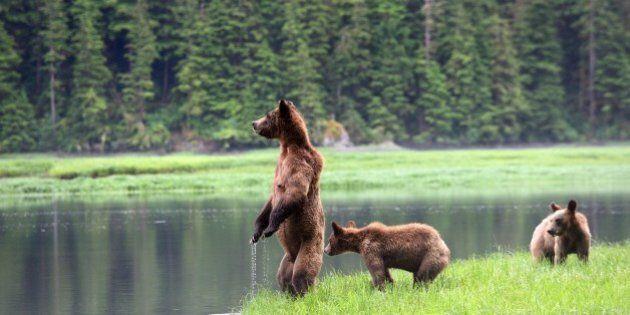 Canada, British Columbia, Khutzeymateen Grizzly Bear Sanctuary, Female grizzly bear (Ursus arctos horribilis)...