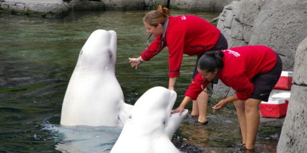 Two belugas and two people.