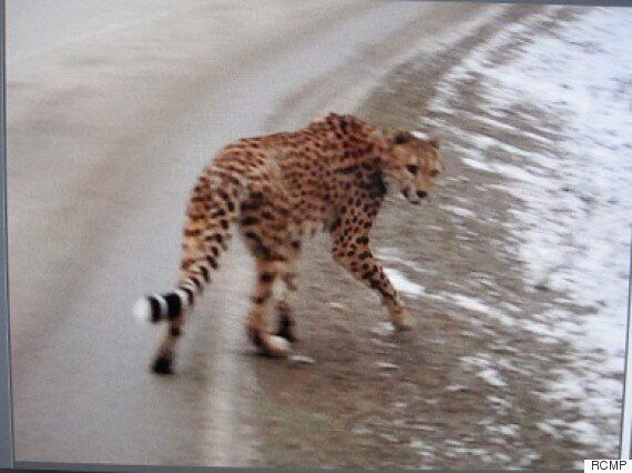 Search For Missing B.C. Cheetah Called