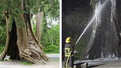 Tree Destroyed In Stanley Park Fire Was Hundreds Of Years