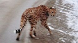 Calgary Zoo Offers Home For Cheetah Missing In